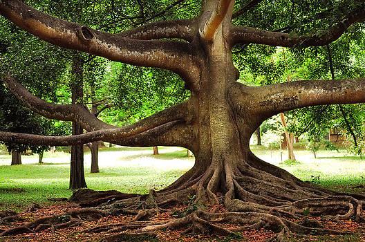 Jenny Rainbow - Monster Tree. Old Fig Tree in Peradeniya Garden. Sri Lanka