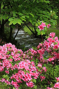 Moonshine Creek Rhododendron Bloom - North Carolina by Michael Weeks