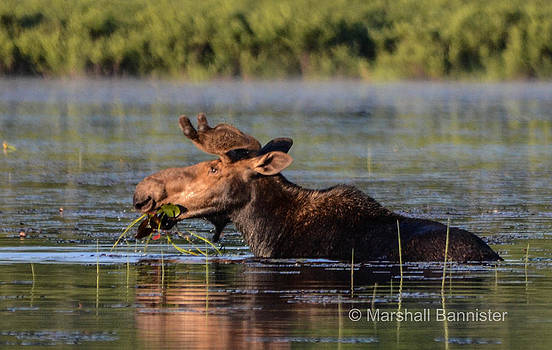 Moose 2 by Marshall Bannister