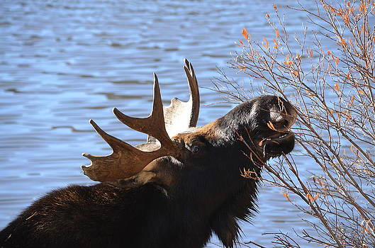 Moose 4 by Patricia Feind