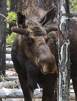 Moose by Patricia Feind