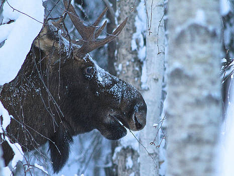 Moose Snacks by Donna Quante
