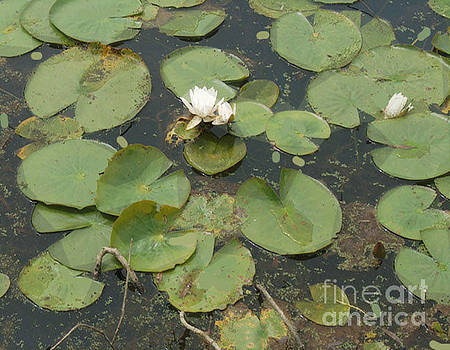 More Pond Lilies 4 by Bruce Tubman