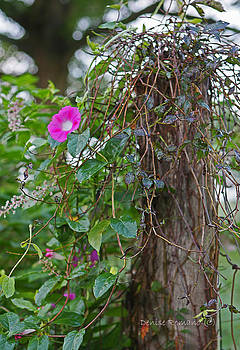 Morning Glory On The Fence by Denise Romano