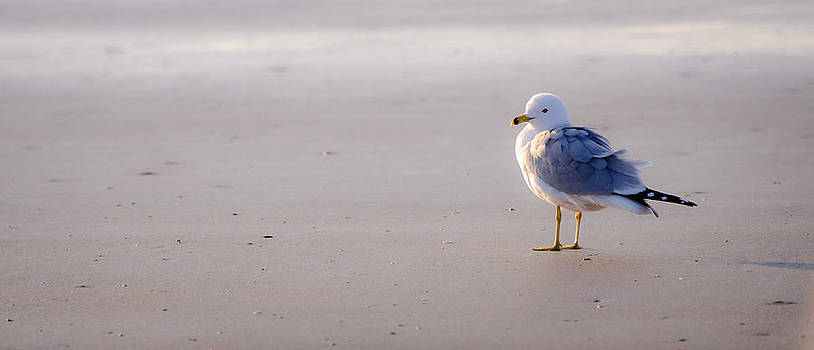 Morning Gull by Kelly McNamara