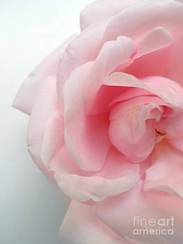 Morning Rose by Phil Paynter