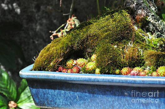 Moss and Succulents in a Blue Pot by Tanya  Searcy