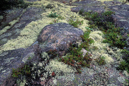 Moss on Rock-Lubec-Maine II by Harold E McCray
