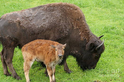 Mother and baby Bison by Walter Strausser