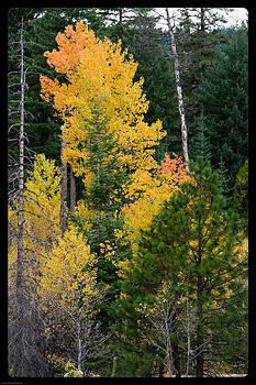 Mick Anderson - Mountain Aspen in Autumn