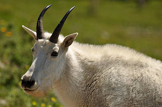 Mountain Goat in Glacier National Park by Bruce Gourley
