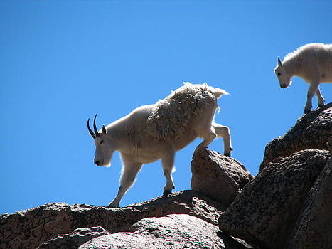 Mountain Goat mother and baby climbing by Teresa Cox