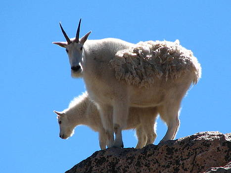Mountain Goat mother and baby by Teresa Cox