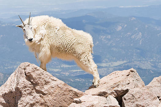 Mountain Goat on Rocks by Jaci Harmsen