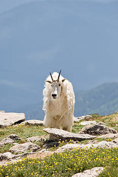 Mountain Goat Portrait by Jaci Harmsen