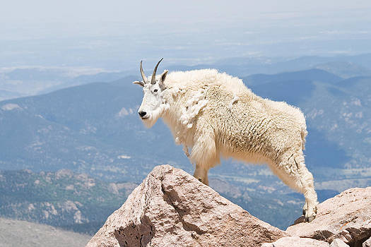 Mountain Goat Up High by Jaci Harmsen