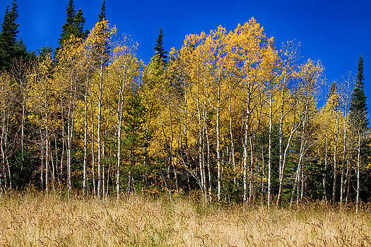 James BO  Insogna - Mountain Grasses Autumn Aspens In Deep Blue Sky