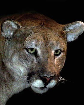 Mountain Lion by Dennis Begnoche