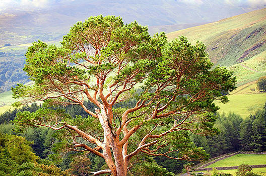 Jenny Rainbow - Mountain Pine Tree in Wicklow. Ireland