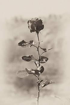 Mountain rose by Goyo Ambrosio