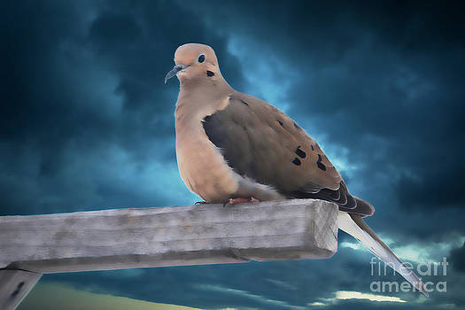 Mourning Dove Blue Sky by Marjorie Imbeau