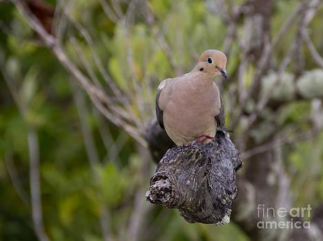 Mourning Dove by Carol McCutcheon