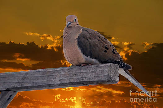 Mourning Dove Orange Sky by Marjorie Imbeau