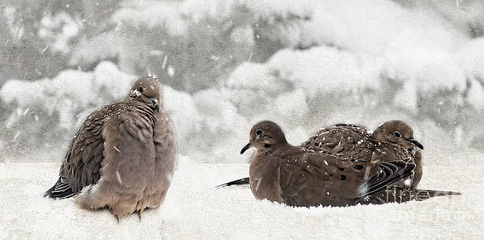 Barbara McMahon - Mourning Dove  Male and Females