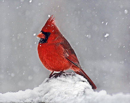 Mr Cardinal by Margaretha Brooks