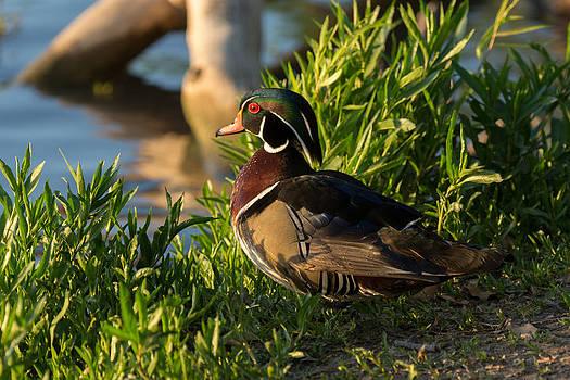 Mr. Wood Duck by Linda Dyer Kennedy