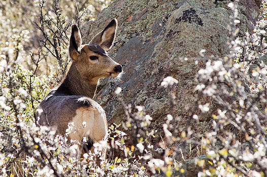 Mule Deer by Jaci Harmsen