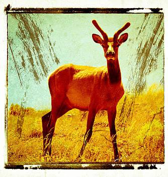 Mule Deer by Tom Wenger