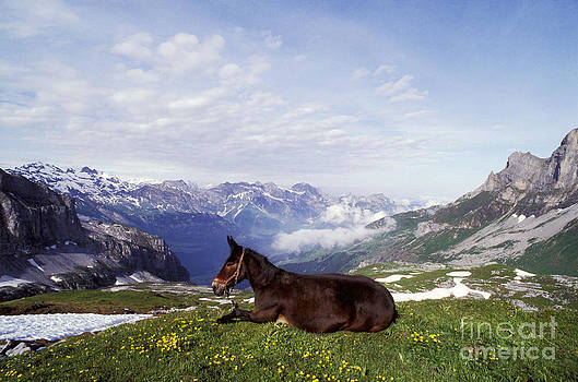 Rolf Kopfle - Mule Lying Down In Alpine Meadow