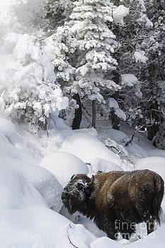 Animals- Bison- Munching Time by Feryal Faye Berber