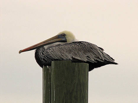 Murrells Inlet Pelican 1 by Making Memories Photography LLC