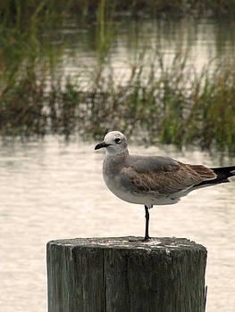 Murrells Inlet Seagull 2 by Making Memories Photography LLC