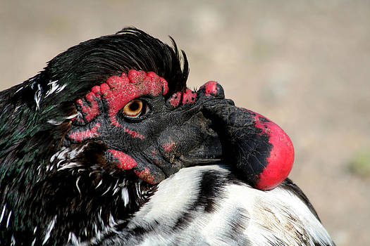 Muscovy Duck with Wattle by Bob and Jan Shriner