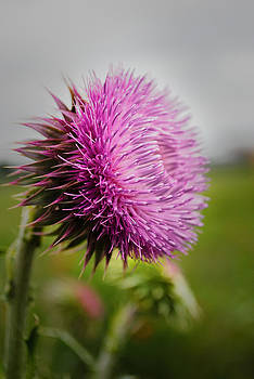 Musk Thistle by Ken Rutledge