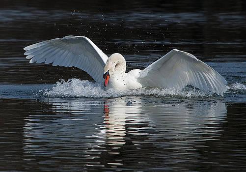 Mute Swan Landing by Heide Stover