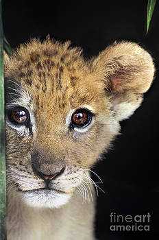 Dave Welling - My Grandma What Big Eyes You Have African Lion Cub Wildlife Rescue