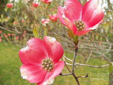 Judy Via-Wolff - My Pink Dogwood
