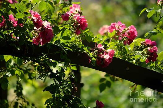 Susanne Van Hulst - My Rose Garden