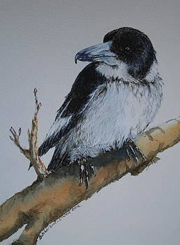 My Territory - Butcherbird by Jan Lowe