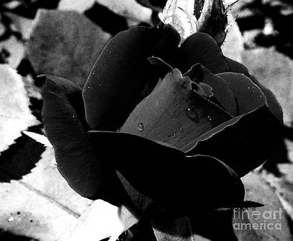 Mystic Black Rose by Eva Thomas