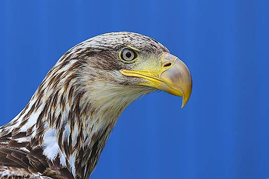 Mystic Eagle side view by Jack Molan