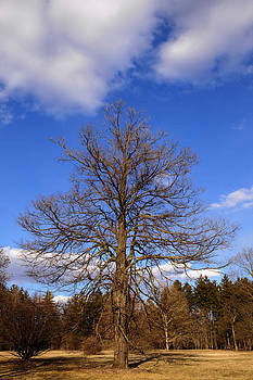 Naked Oak in Early Spring by Ed Cilley