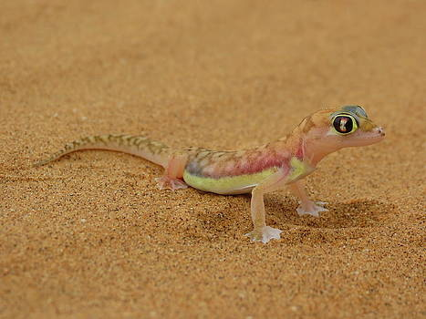 Ramona Johnston - Namib Desert Gecko