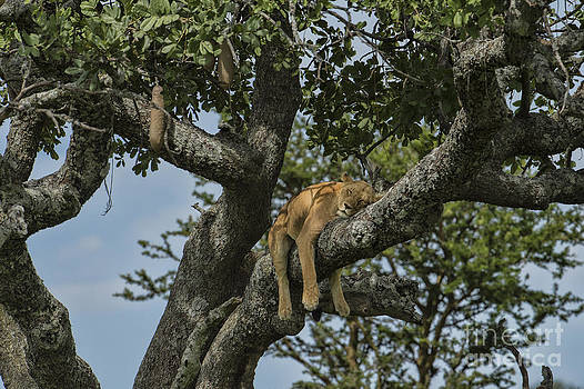 Sandra Bronstein - Nap Time On The Serengeti