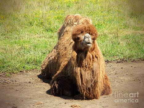 Napping Camel by K L Roberts