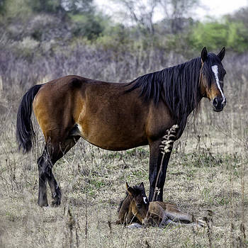 Lynn Palmer - Napping foal and Mare